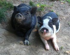 Potbelly Pigs ~Lollie~ & ~ Sugars~