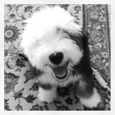 Our old english sheepdog, Blue