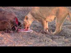 Inyati safari Highlights  1st week of September 2016