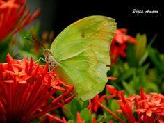 A alma é uma borboleta... há um instante em que uma voz nos diz que chegou o momento de uma grande metamorfose...  Rubem Alves  📷© Ricky Seabra Photography. ↪ #natureza #borboletas #flores #rosas #quintais #jardins #bosques #chapadadoararipe #insetos