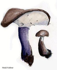 Mushroom Drawings of Heidi Kellner (MushroomExpert.Com)
