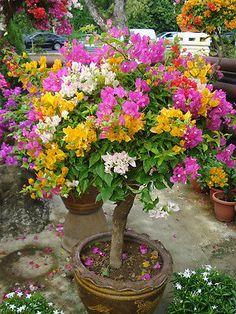 Colorful Bougainvillea Senna willd Sementes Planta Bonsai Sementes Flor