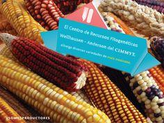 El Centro de Recursos Fitogenéticos Wellhausen-Anderson del CIMMYT alberga diversas variedades de maíz mexicano. SAGARPA SAGARPAMX #SOMOSPRODUCTORES