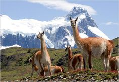 Guanacos in Torres del Paine National Park, Patagonia, Chile. Photo by Kevin Moloney for the New York Times.