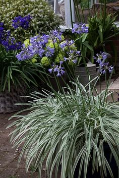 Agapanthus Silver Moon is a free flowering Agapanthus that has beautiful silver-edged leaves. Deciduous and hardy. Terrace Garden, Garden Art, Agapanthus Plant, African Lily, Bell Gardens, Heuchera, Colorful Flowers, How To Find Out, This Is Us