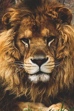Jamais je ne me suis demandée pourquoi c'était le lion le roi des animaux. C'est plutôt évident, non?