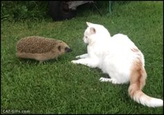 "Animated Cat GIF • When a young hedgehog ""full of testosterone"" meets a pretty Cat. ""What do you want? Leave me alone, I'm married."""