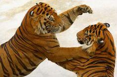 Cat fight: 2012 Tigers vs. 2008 Tigers...I wonder who wins hmmmm...