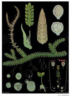 "Swiss Moss Fern from ""The art of Instruction"""