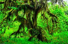 hoh rainforest | Hoh+Rainforest_0001_13.JPG