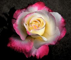 Full Rose Emerges Out of Darkness by Mary Sedivy.