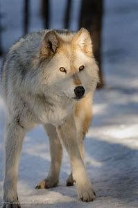 Gray wolf in the woods! Beautiful Wolves, Most Beautiful Animals, Beautiful Creatures, Wolf Spirit, My Spirit Animal, My Animal, Wolf Photos, Wolf Pictures, Winter Wolves