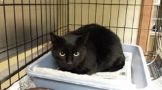 Found! All black (no white on belly) neutered male with all claws on Lynn st ( yes, garage kitty) RAIN AS 120813 001....very sweet, definitely someone's baby. At Tazewell county animal control. Not carmen, sheba, or jackpot.