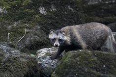 supikoira - Google-haku Ferret, Google, Animals, Animales, Animaux, Ferrets, Animal, Animais, European Polecat
