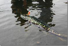 Giant Snakehead Fish | Giant Snakehead Fish, Biggest Snakehead Fish,Snakehead Fish Pictures ...