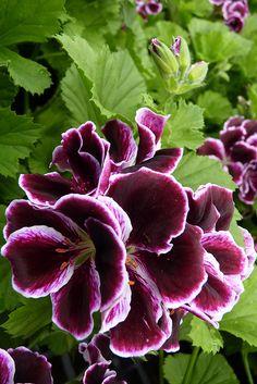 Regal Geranium - Imperial pretty
