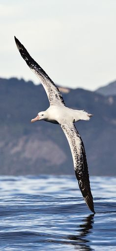 Albatross - The wingspans of the largest great albatrosses are the largest of any bird, exceeding 340 cm (11.2 ft). lbatross have high glide ratios, around 22:1 to 23:1, meaning that for every meter they drop, they can travel forward 22 metres.