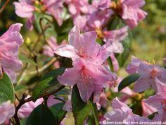 Różanecznik wczesny Praecox - Rhododendron praecox