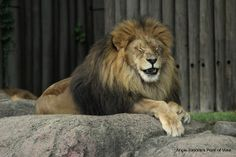 National Geographic Your Shot Cleveland Zoo, Bible Stories, National Geographic Photos, Snow Leopard, Zoo Animals, Spirit Animal, Big Cats, Lions, Amazing Photography