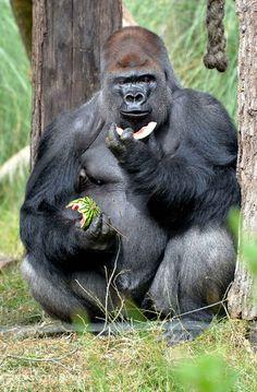 Et quand il s'agit des mains du papa gorille, la pastèque devient un petit melon.