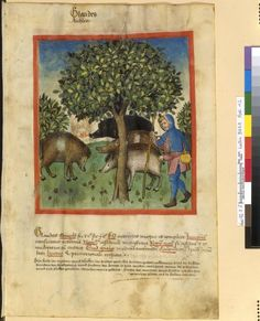 Tacuinum Sanitatis - BNF Ms. Latin 9333 Date: Rhineland, mid- 15th century.  12r Eicheln