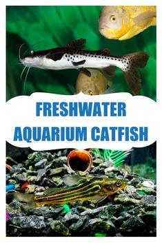 Best Aquarium Fish, Aquarium Catfish, Catfish For Sale, Cat Whiskers, Freshwater Aquarium, Fresh Water, Behavior, Range, Colorful