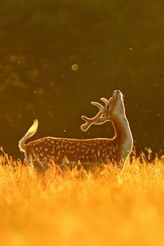 "God always uses deer to remind me of his love. :)♂ Wildlife photography Golden Deer ""Fly Dance"" by Simon Roy Soo fabulous ! Nature Animals, Animals And Pets, Cute Animals, Wildlife Nature, Baby Animals, Wildlife Photography, Animal Photography, Woods Photography, Happy Photography"