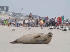 """Dog days of summer? More like """"seal days"""" in Ocean County, N.J.— NewsWorks /  Click for short article and video of seal entering the ocean."""
