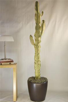 Cactus: Euphorbia Ammak Variegated
