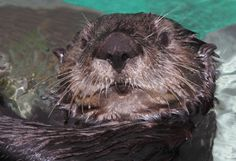 Our sea otter exhibit may feature some new faces when it re-opens March 23. You never know—you might meet a few in our Countdown to Cuteness calendar!  Check it out via your Desktop.  Via your mobile.