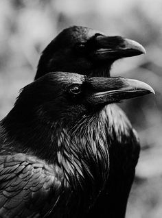 "spookyloop: "" Raven duo by DeeOtter "" Beautiful Creatures, Fotografia Pb, Elf Rogue, Choucas Des Tours, Half Elf, Animals And Pets, Cute Animals, Quoth The Raven, Raven Art"