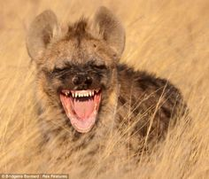 A hyena in Kgalagadi Transfrontier Park, South Africa.