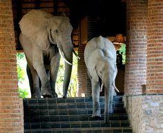 Wild elephants walk through Mfuwe Lodge, Zambia