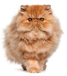 Wist je, dat er over de herkomst van de pers vrij weinig bekend is? Men ging ervan uit dat hij uit het vroegere Perzië afkomstig was, maar een bewijs daarvan is nooit geleverd. Wil je meer weten, kijk dan op de encyclopediepagina van GEKop katten.   https://www.gekopkatten.nl/kattenrassen-encyclopedie/encpage/pers/ of https://www.gekopkatten.be/kattenrassen-encyclopedie/encpage/pers/