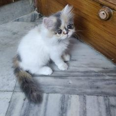 Are you thinking to buy a persian cat online in Delhi and looking for the best cat shop? We at Mummy Cat offers the best breeds of persian cat in Delhi. But before buying persian cat you must be aware how to keep your cat healthy. Persian Cat Price, Persian Cats For Sale, Persian Kittens, Cats And Kittens, Guinea Pig Toys, Guinea Pig Care, Guinea Pigs, Cat Online, Kitten For Sale