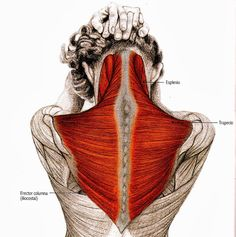 Healing the muscles in the neck & back Yoga Sequences, Yoga Poses, Yoga Muscles, Wake Up Yoga, Postural, Medical Anatomy, Muscle Anatomy, Stretching Exercises, Yoga Routine