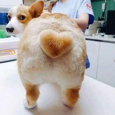 Corgi dog with a heart shaped tail