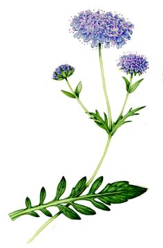 Scabious by Lizzie Harper