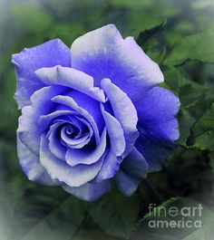 Periwinkle Rose by Barbara Griffin. A beautiful bluish purple rose in a vignette with faded edges that is a special effect made for this image.