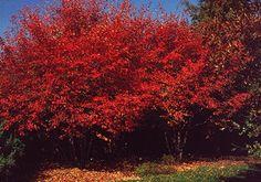 Serviceberry amelanchier Fall foliage