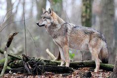 Mit Hilfe von 114 Wildkameras oder Fotofallen wollen Experten mehr Erkenntnisse über das Verhalten der Wölfe im Norden erhalten. Das Umweltministerium geht d...