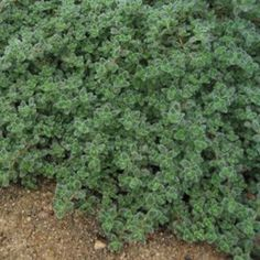 Plainview Farm | Portland Maine Garden Center & Landscaping | Perennials | Thymus | Thymus pseudolanuginosus.  Wooly thyme does not flower. It is valued for the soft silver carpet of foliage it weaves in the hot, dry locations it loves.