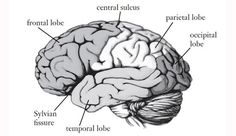 How the Brain Creates Personality: A New Theory |  Are you a mover, a perceiver, a stimulator, or an adapter? Modes of thinking can be understood in terms of how the top and bottom—rather than right and left—parts of the brain interact. | rePinned by CamerinRoss.com