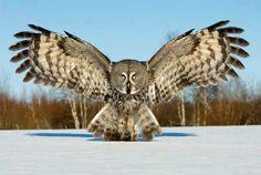 Owl in mid flight