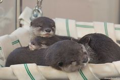 Otters pile into a hammock for a nap - August 4, 2015