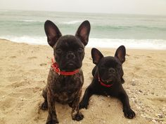 Frenchies @ beach!