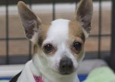 Petango.com – Meet Bailey, a 6 years 7 months Chihuahua, Short Coat available for adoption in COLORADO SPRINGS, CO