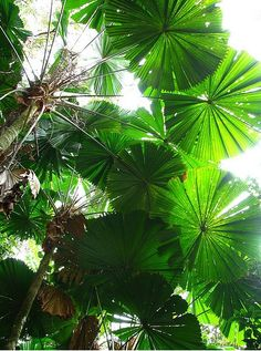 Lush Plants Online Plants Nursery Buy Australian Plants online Find something different! Tropical Plants, Palms, House plants, Rare and Unusual Plants, Native Trees.