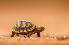 This is baby tortoise is adorable!