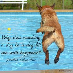 Why does watching a dog be a dog fill one with happiness? Quote by Jonathan Safran Foer . Dog Quotes. Holistic Health. #DogQuotes #Dogs #AnimalQuotes #Animals #PetQuotes #Pets #HolisticHealth #PetOwnership